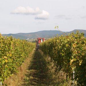 vinogradarstvo13