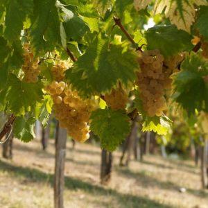 vinogradarstvo19