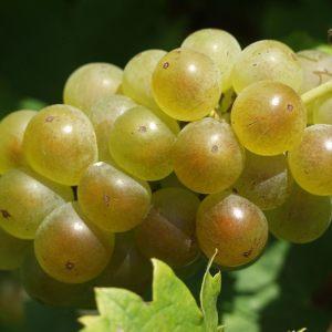vinogradarstvo24