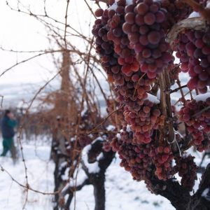 vinogradarstvo26